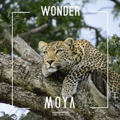 At Moya, the quintessential safari experience is just a heartbeat away… In A Heartbeat, Panther, Safari, Villa, Luxury, Animals, Animales, Animaux, Panthers