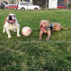 Now accepting competitors for 2vs2 volleyball. Who wants to challenge me and Kobe?? #tongueouttuesday #pitbullsofficial #bullbreedsofinsta #dogsofinstagram #mydogiscutest #excellent_puppies #bestwoof #pits #excellent_dogs #pitbulloverload #pitbulladvocate #dogsbeingbasic #worldofcutepets #welove_pitbulls #dogs #pitbullinstagram #showusyourpits #ourpitpage #sandiego #pacificbeach #cali #cute #bulldogsofinstagram #bulldogs #bestfriends #volleyball  follow my boy: @chief_therescue…