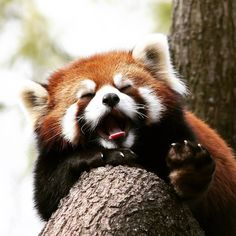 I better go to sle... zzzzzzzzzzZzz Photo: Mark Dumont on flickr CC BY-NC 2.0 Animals And Pets, Baby Animals, Funny Animals, Cute Animals, Beautiful Creatures, Animals Beautiful, Red Panda Cute, My Spirit Animal, Pet Birds