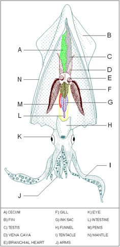 Printables Squid Dissection Worksheet external anatomy of the crayfish q worksheet wanswer key cc cycle 1 pinterest ojays keys and worksheets