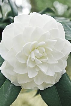 White By The Gate Camellia White Flowers, Beautiful Flowers, Florida Flowers, White Camellia, Flowering Bushes, Foundation Planting, Large Plants, Backyard Projects, Paisajes