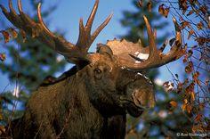 Beautiful - Bull moose near Anchorage