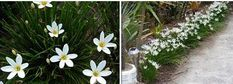 Zephyranthes candida - Fairy lily These little bulbs do well in full sun to semi shade situation in a well drained but moist soil. Semi-hardy clump-forming bulbous perennial with chive-like leaves. After rain, huge, crocus-like flowers begin to appear and Auckland, Garden Beds, Garden Art, Rain Lily, Bulbous Plants, Garden Design Plans, Planting Plan, Contemporary Garden, Foliage Plants