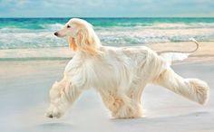 Afghan Hound - Dog Breed Information and Images - K9RL