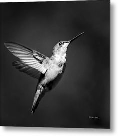Hummingbird Metal Print featuring the photograph Hummingbird Flight Bw Square by Christina Rollo