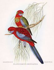 "CRIMSON ROSELLA PARROT RED LORY PENNANT""S PARAKEET ~ John GOULD Bird Art Print"