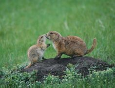 Paririe Kiss 2nd Place Amazing Animals (US) Frey Youssef, Age 12. This is a photo of a mother prairie dog greeting its young pup with a kiss. It was taken in Custer State Park this spring. Gadguides: The Awesome Winners of the National Geographic International Photography Contest for Kids