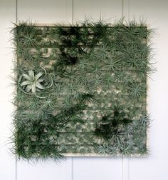 Tillandsia Wall via ClydeOak || I'd choose this over a succulent wall... love succulents, but this makes more sense to me.