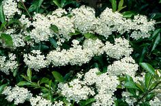 Pyracantha rogersianaP. rogersiana is a large, vigorous, spiny evergreen shrub of arching habit, with glossy, narrowly oblong leaves up to 4cm in length. Clusters of small, creamy-white flowers followed by orange-red berries