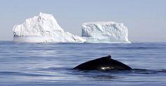 Humpback whale near Brabant Island, Antarctic Peninsula, Antarctica