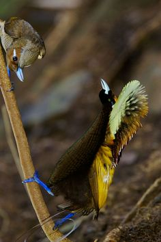 Magnificent Bird of Paradise Male and Female : BIRDS OF PARADISE : Environmental Photographs: Wildlife Photojournalist Tim Laman, Tim Laman