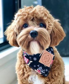 Everything You Need to Know About a Cavapoo - Tiny Baby Animals Cavapoo Puppies For Sale, Cockapoo Puppies, Small Puppies, Cute Dogs And Puppies, Puppies Puppies, Doggies, Goldendoodle Miniature, Miniature Puppies, Teddy Bear Dog