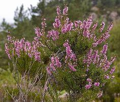 Heather, o floral para quem sente ansiedade em ficar sozinho.
