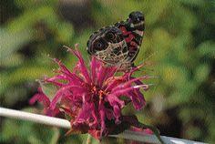 Herbs that attract butterflies