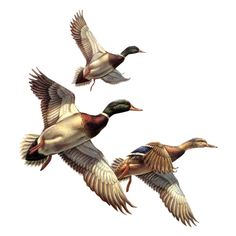 Ducks Clipart ❤ liked on Polyvore featuring birds, animals, duck and oiseaux
