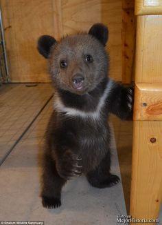 David y Lana Fechter han adoptado recientemente dos cachorros adorables de oso siberiano que fueron rechazados por su madre en un zoológico de Chicag... Ver mas: http://www.mejorhistoria.com/osos-gemelos-adoptados/