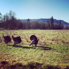 Buncha turkeys! Off Hwy. 234 - Upper Table Rock in the background.