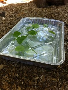 Chicken Spa treatment. When it's realy hot take a shallow disposable pan, fill it with ice water and then sprinkle in some fresh herbs. The fresh herb make this absolutely irresistible. They enjoy standing in it, drinking from it and sampling cool refreshing treats.