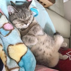 Our little girl: Bunny the sleeping beauty  Be sure to hit follow for awesome pics and video! --------------------------------- Follow us: -@britishshorthairloves --------------------------------- Douple tap and tag your #BritishShorthair loving friends below! From: @meatballcathk  Have an amazing day   !
