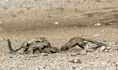 Animal Alphabet, Squirrels, Wikimedia Commons, African, Animals, Chipmunks, Animales, Animaux, Animal