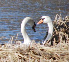 Swans at Salt Pond - Crosswinds B&B Suites - Cape Cod, Massachusetts