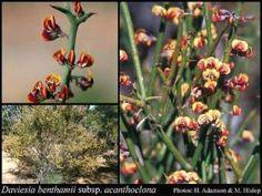 Atlas of Living Australia Endangered Plants, Images, Australia