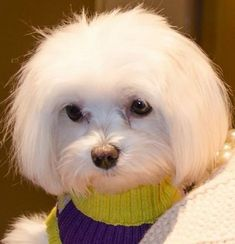 35 Cutest Maltese Haircuts For Your Little Puppy – HairstyleCamp Maltipoo Haircuts, Dog Haircuts, Dog Hairstyles, Maltese Haircut, Puppy Haircut, Maltese Mix, Teacup Maltese, Puppy Cut, Sweet Dogs