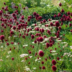 Purple Allium Bulbs Drumstick, Allium sphaerocephalon, Persian Onion