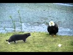 What this cat was REALLY thinking when he came face to face with a Bald Eagle