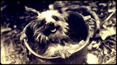Smoky (c. 1943 – 21 February 1957), a Yorkshire Terrier, was a famous war dog who served in World War II. She weighed only 4 pounds and stood 7 inches tall.   Smoky was credited with twelve combat missions and awarded eight battle stars.  She survived 150 air raids on New Guinea and made it through a typhoon at Okinawa.  Smoky even parachuted from 30 feet in the air, out of a tree, using a parachute made just for her.