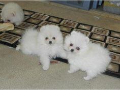 Alnfastnet M/F Pomeranian Puppies for Sale