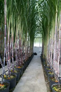 Sugarcane plants in the  qurantine glasshouse - © J.-C. Girard