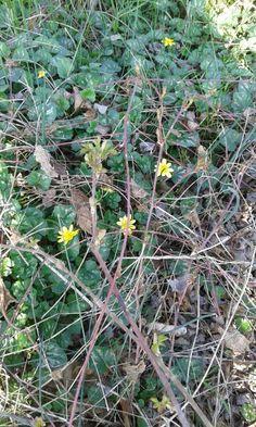 13.3.2016 Ranunculus Ficaria detto Favagello (tossico)