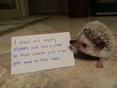Hedgehogs in Need of a Proper Shaming - World's largest collection of cat memes and other animals Hedgehog Cage, Funny Hedgehog, Pygmy Hedgehog, Hedgehog Food, Funny Animal Quotes, Cute Funny Animals, Animal Memes, Cute Baby Animals, Funny Pets
