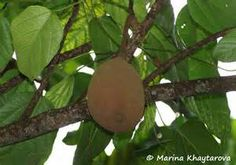 pangium edule - (Pangi): Tree, heart shaped leaves in spirals, grows to 18 meters. Flowers are green colored. Large brown pear-shaped fruit grows in clusters. *CAUTION* All parts are poisonous, especially the fruit!