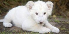 Leão branco Leões brancos são raros. Calcula-se que existam não mais do que 10 indivíduos no mundo. O leão branco possui uma rara mutação genética chamada de leucismo, que se difere do albismo. Seus olhos são dourados ou azuis e, combinados com a pelagem quase branca, fazem do leão branco um dos animais mais lindos da natureza. Infelizmente, é justamente sua cor que o torna mais frágil. Crédito da imagem: animais-fofos-extinção