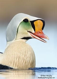 King Eider male. The king eider (Somateria spectabilis) is a large sea duck that breeds along Northern Hemisphere Arctic coasts of northeast Europe, North America and Asia.