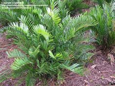 coontie plant | PlantFiles: Picture #7 of Cycad, Coontie, Florida Arrowroot, Seminole ...