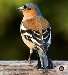 Chaffinch (Fringilla coelebs), is a common and widespread small passerine bird in the finch family. The chaffinch breeds in much of Europe, across Asia to Siberia and in northwest Africa. List Of Birds, All Birds, Little Birds, Pretty Birds, Beautiful Birds, Animals Beautiful, Exotic Birds, Colorful Birds, Chaffinch