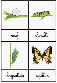 Crapouillotage: Cartes de Nomenclatures : Le Cycle de vie du Papillon Crapouillotage: Nomenclature Maps: The Life Cycle of the Butterfly Craft Projects For Kids, Science Projects, Science For Kids, Science And Nature, Science Ideas, Earth Science, Science Montessori, Butterfly Life Cycle, Butterfly Dragon