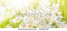 Spring light green floral background of a beautiful blooming apple tree. Blossom trees in spring day banner or border Blooming Apples, Light Spring, Blossom Trees, Apple Tree, Spring Day, Banner, Floral, Green, Flowers