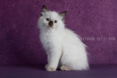 2016: Bamm-Bamm A Zwollywood Cat. 8 Weeks old Ragdoll kitten, chocolate colourpoint. Flintstones litter.