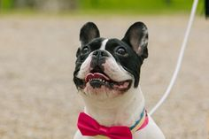 Mi frenchi Lola con pajarita rosa, Lola, the French Bulldog