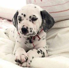 Ven baby y te dejo. Love Pet, I Love Dogs, Puppy Love, Cute Dogs, Little Puppies, Dogs And Puppies, Baby Animals, Cute Animals, Dalmatian Dogs