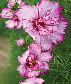 Cosmos, great old-fashioned annual.  Love the flowers, but what I really like about these plants are the beautiful, feathery leaves.  This variety is called Double Take and it blooms all season long.  They do need to be staked though.  Use those cheap green garden plastic covered fences.  That way you hardly see them.