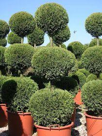 Trees Planet: Cupressocyparis leylandii - Leyland Cypress Leylandii Hedge, Monterey Cypress, Vascular Plant, Evergreen Trees, Ornamental Plants, Planting Seeds, Topiary, Hedges, Horticulture