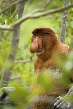 Proboscis Monkey (Nasalis larvatus) in a mangrove tree, Sarawak, Borneo  On what other planet do we find a species that are Jimmy Durante lookalikes?