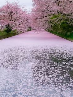 Cherry Blossom, Aomori, Japan #桜 #CherryBlossom #CherryPetals #花筏