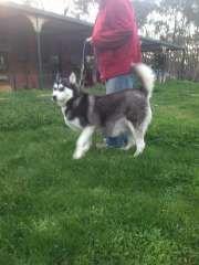 Husky Puppies For Sale, Siberian Husky Puppies, Siberian Huskies, Husky Puppy, Snow Dogs, Dog Chews, Dog Breeds, Supernatural, Handsome
