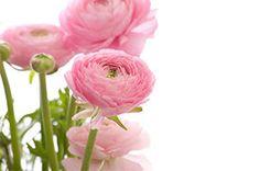 Ranunculus,Asiaticel , Flower Essence – Dr. Judy Griffin's Aroma Health Texas